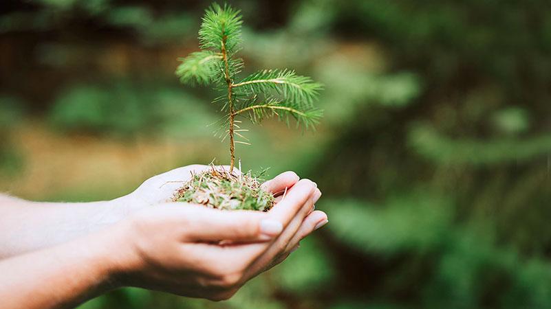 Männyn taimi kämmenellä - Hand holding a seedling of pine.