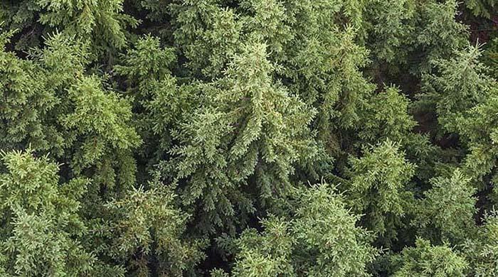 Mäntymetsä ylhäältä päin kuvattuna - Pine forest seen from above.